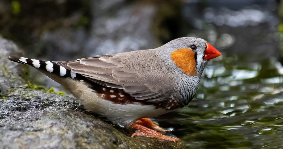 For the Love Of The Zebra Finch